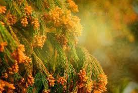 ノジマフットボールパークにも秋の花粉症の季節がやってきました ノジマステラ選手は花粉症じゃないのかな