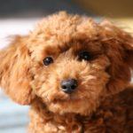 共働きでも飼いやすい犬種はあるの? あります!おすすめの4犬種